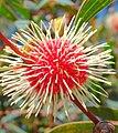 Aussie Easter Egg -Hakea laurina (446828172).jpg