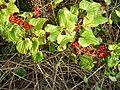 Autumn berries - geograph.org.uk - 999639.jpg