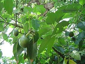Las hojas del Aguacate, usadas como dentífrico natural