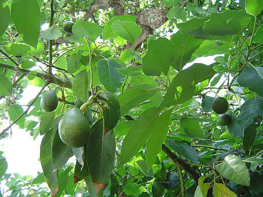 Avocado fruitnfoliage