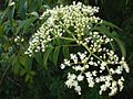 Azadirachta indica flowers.jpg