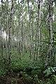Březový les pod Milešovkou.JPG