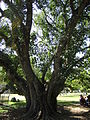 BCBG Ficus Religiosa 01.JPG