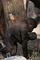 Baby Tuena (3956780748).jpg