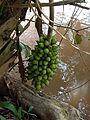 Bacuri fruto 03.jpg