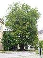 Baden, Platane beim Florastöckel 1.jpg