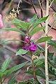 Balsam flowers 12.jpg