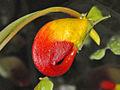 Balsaminaceae - Impatiens niamniamensis.JPG