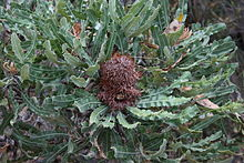 Banksia menziesii inflorescence with persistent florets.jpg