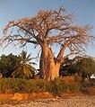 Baobab (4879325095).jpg