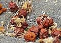 Baobab (Adansonia digitata) old flowers (11887332785).jpg