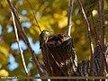 Bar-tailed Tree-creeper (Certhia himalayana) (15272682594).jpg
