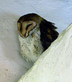 Barn Owl 3 Santa Cruz Island 2011.jpg