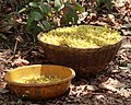 Basketfull of Mahua.jpg
