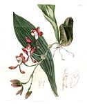 Batemannia colleyi - Edwards vol 20 pl 1714 (1835).jpg
