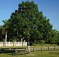 Bauhinia Tomentosa (St. Thomas Tree, Yellow Bauhinia) (28258642804).jpg