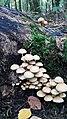 Baumberge, Pilze, Buchen, Wald, Herbst.jpg
