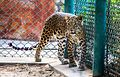Beautiful Leopard.jpg