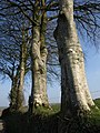 Beech trees near Collacott - geograph.org.uk - 700856.jpg