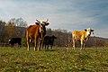 Beef cattle herd, Polyface Farm.jpg