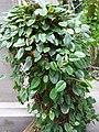 Begonia elaeagnifolia.jpg