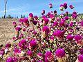 Belíssimas flores em contraste com a terra.jpg