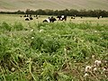 Belted Galloway cattle at Faulston - geograph.org.uk - 707877.jpg