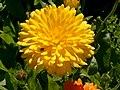 Benkid77 Big Yellow Flower 070807.JPG