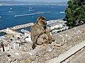 Berberaffen Gibraltar 13.jpg