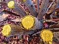 Berberis thunbergii cut wood colour.jpg