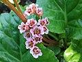 Bergenia crassifolia a2.jpg