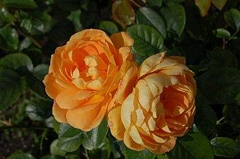 Bernstein-Rose (Evers Tantau 1987).JPG