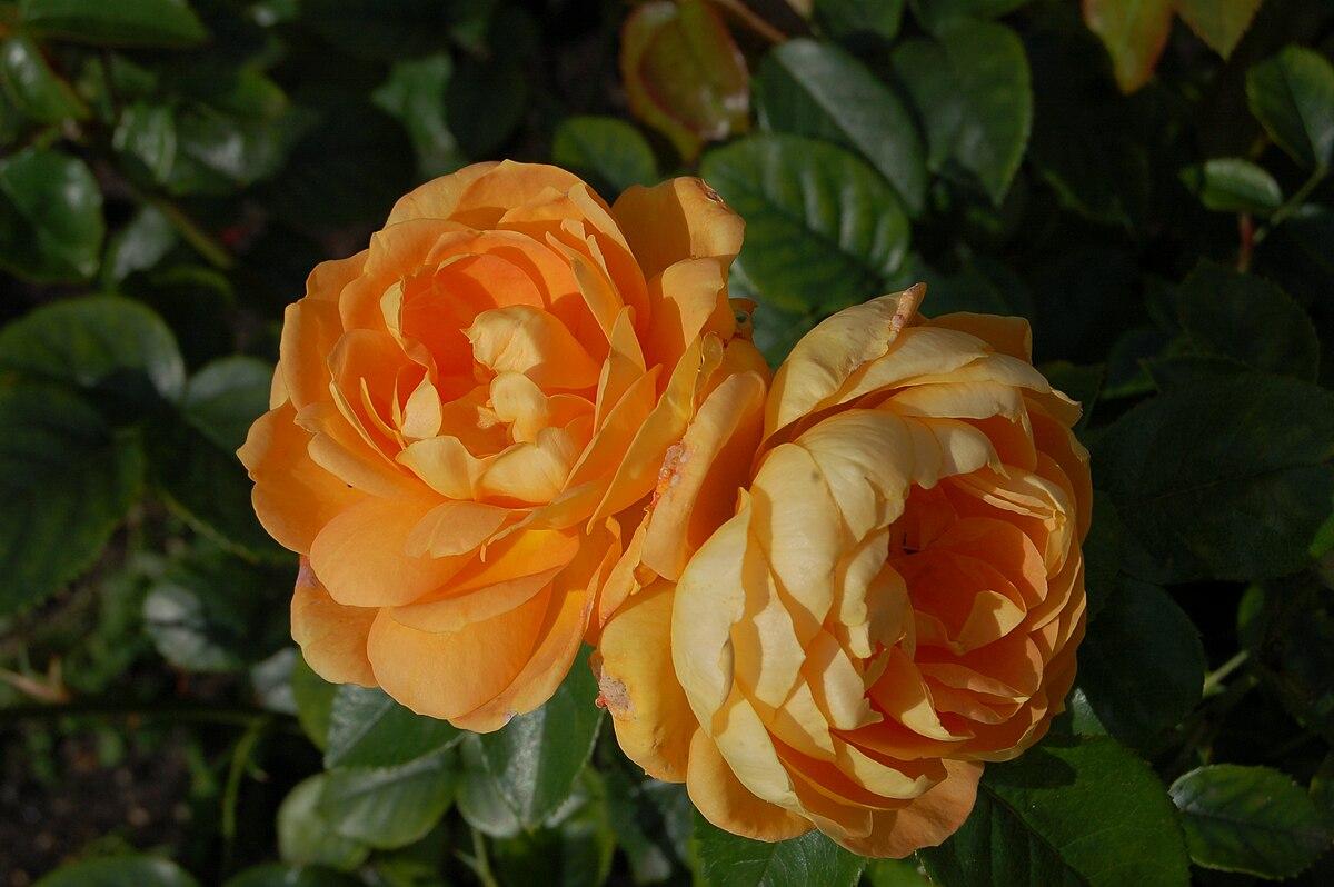 Rosa Bernstein Rose Wikimedia Commons