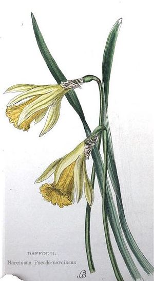 Narcissus pseudonarcissus - N. pseudonarcissus, from Lady Wilkinson's Weeds and wild flowers 1858