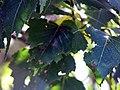 Betula platyphylla Whitespire 1zz.jpg