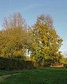 Beuk (Fagus sylvatica). Locatie, Hortus (Haren, Groningen).JPG