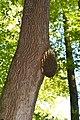 Bienen-Nest an einem Baumstamm 3.JPG