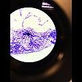 Biology laboratory work, bacteria- bacillus subtilies.JPG