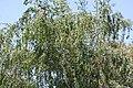 BirchTreeSummer3800ppx.jpg