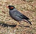 Bird India.jpg