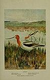 Bird lore (1916) (14569020547).jpg