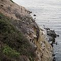 Birds along a cliffside in La Jolla (70774).jpg