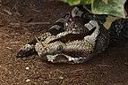 Bitis nasicornis Nashornviper.jpg