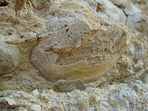 La Pointe du Chay - Jurassic fossil of a bivalve, from La Pointe du Chay.