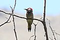 Black-necked Woodpecker (Colaptes atricollis).jpg