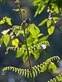 Black-throated Prinia (27150470865).jpg