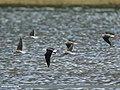 Black-winged Stilt (Himantopus himantopus) (31715794118).jpg