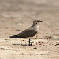 Black-winged pratincole from this weekend at Mkhombo Dam, Mpulanga (36861637734).jpg