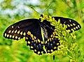 Black Swallowtail (Papilio polyxenes) (7762831950).jpg