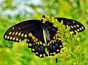 image of Black Swallowtail (Papilio polyxenes) (7762831950)